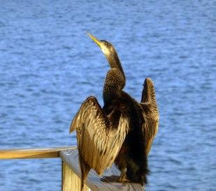 Sunbathing cormorant