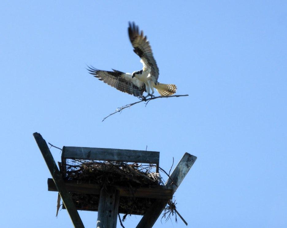 Osprey building a nest
