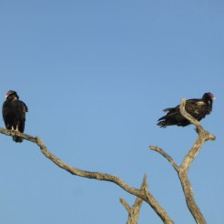 Turkey vultures, waiting...