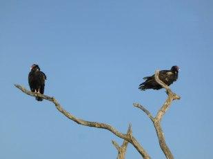 Turkey vultures, waiting...