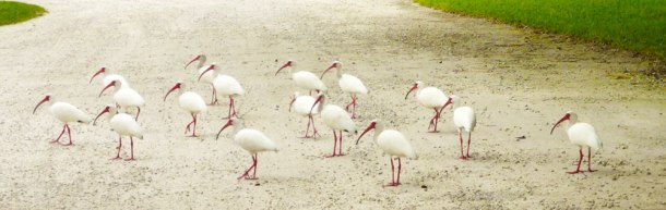 white-ibis-bird-wildlife-caprtiva-florida