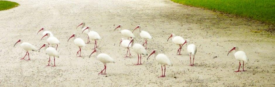 white-ibis-bird-wildlife-caprtiva-florida