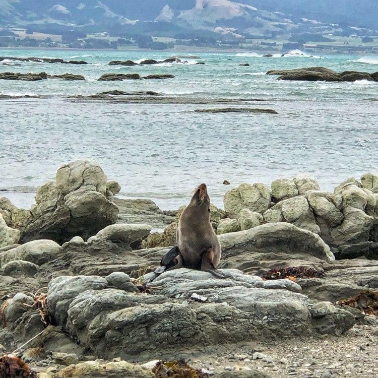 fur-seal-Kaikoura-New-Zealand