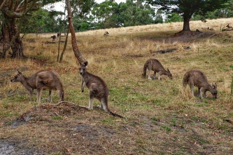 kangaroos-Australia-Great-Ocean-Road