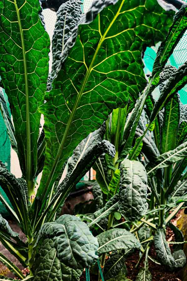 homegrown cavolo nero