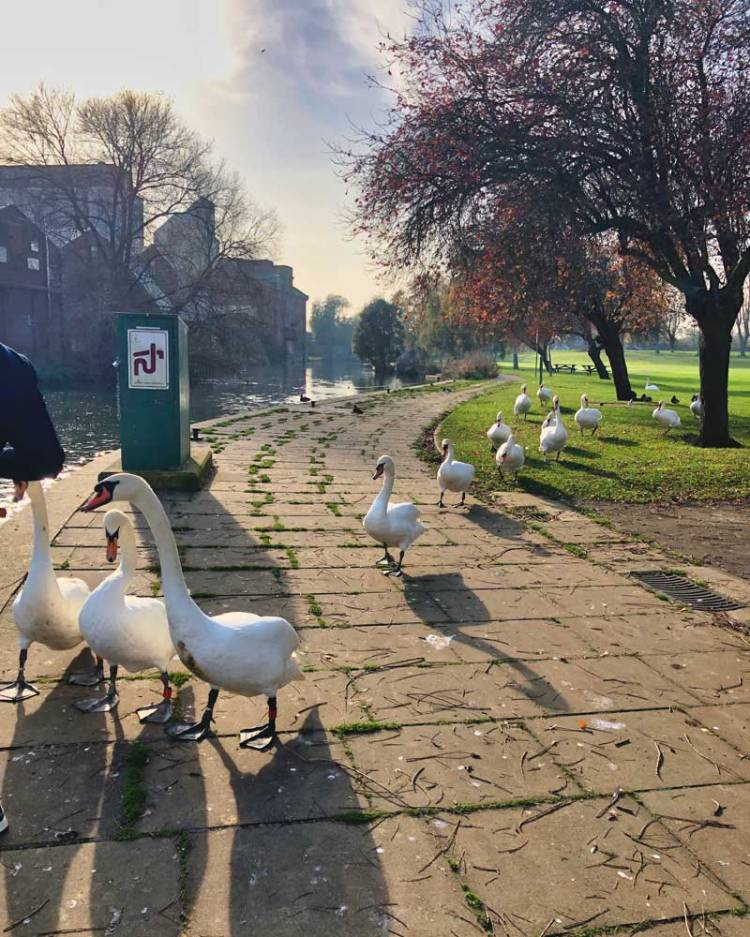 Row of swans coming towards us during one of our early morning walks